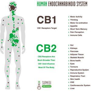 endocannabinoïde systeem