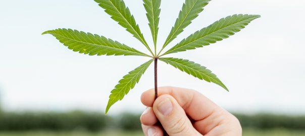 verschil hennep cannabis wiet