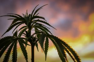 verschil wiet cannabis hennep