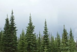 terpenen pineen