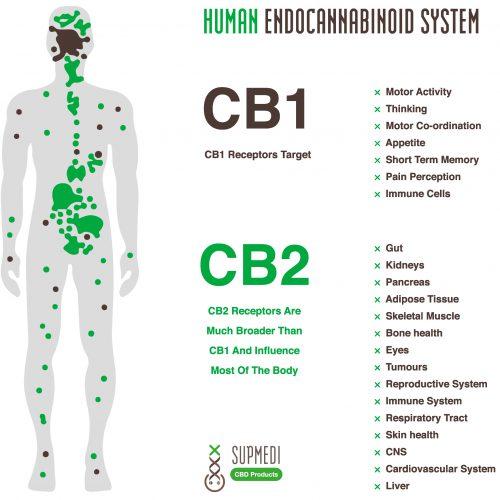 how does cbd work - endocannabinoid system